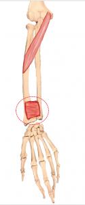 前腕前面 赤丸で囲った部分