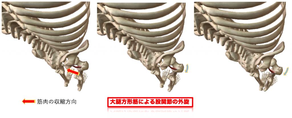 大腿方形筋による股関節外旋