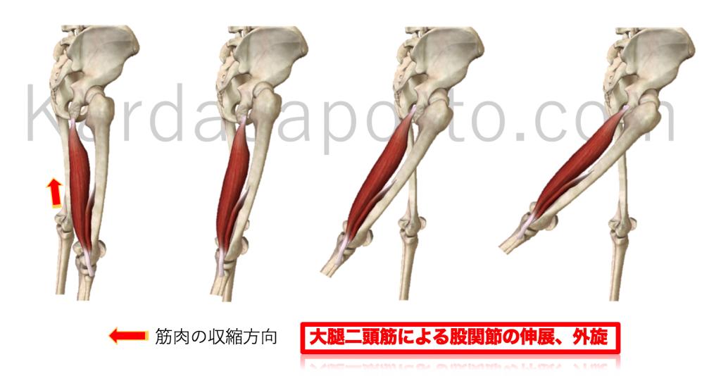 大腿二等筋による股関節伸展と外旋