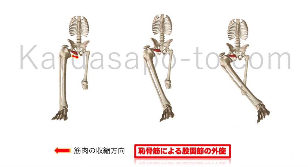 恥骨筋による股関節外旋