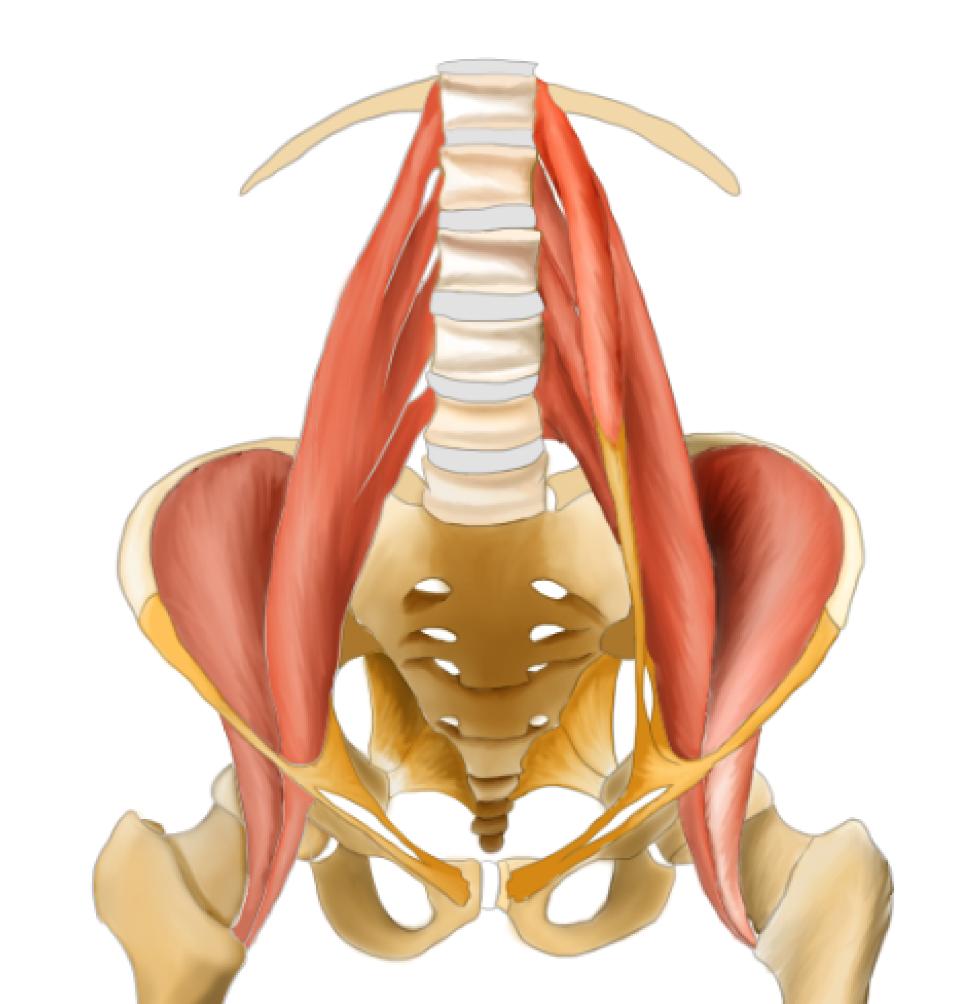 下肢の筋肉(図、起始、停止、神経支配、働きと作用)52選