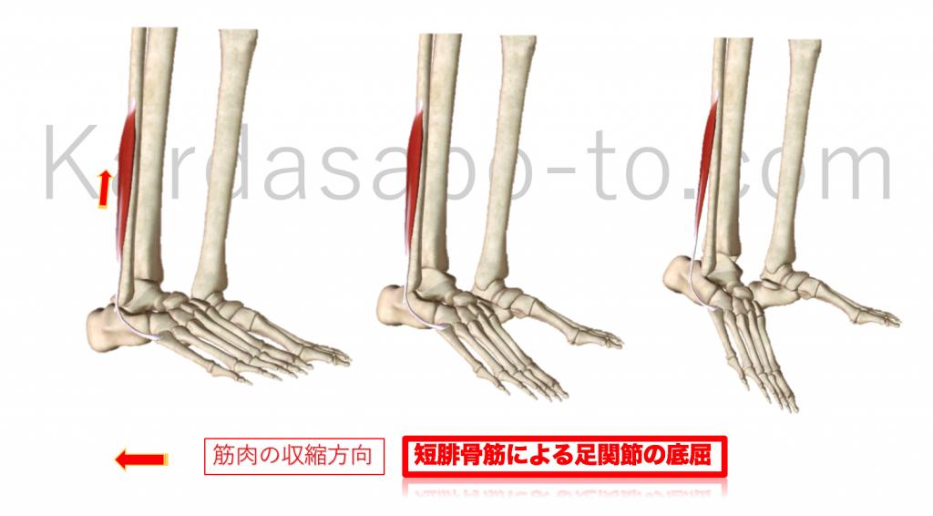 短腓筋による足関節底屈