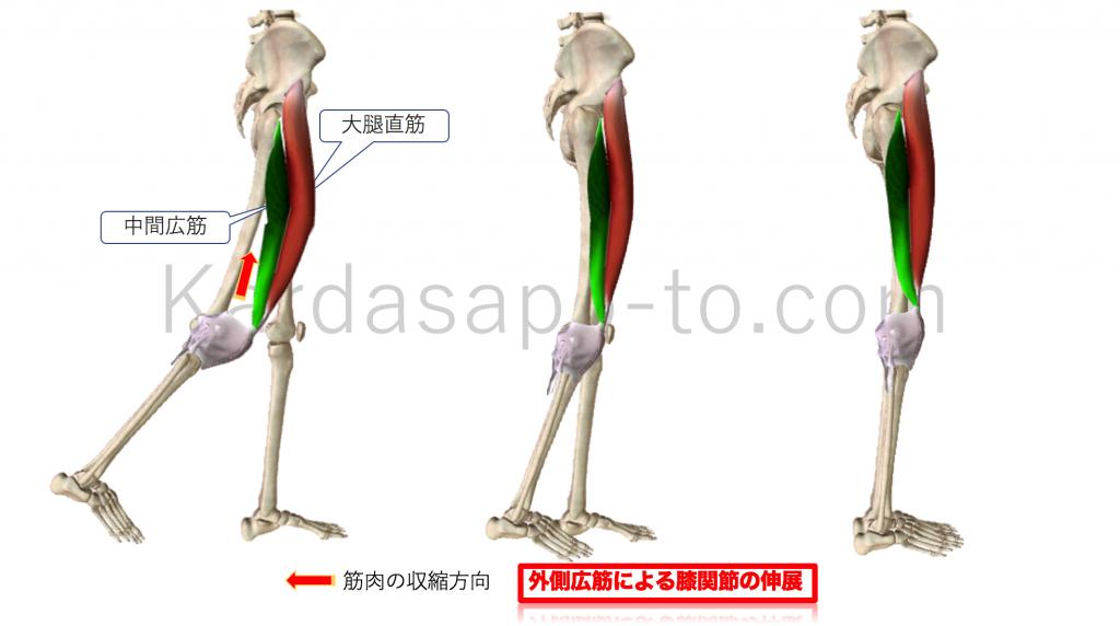 中間広筋による膝関節伸展