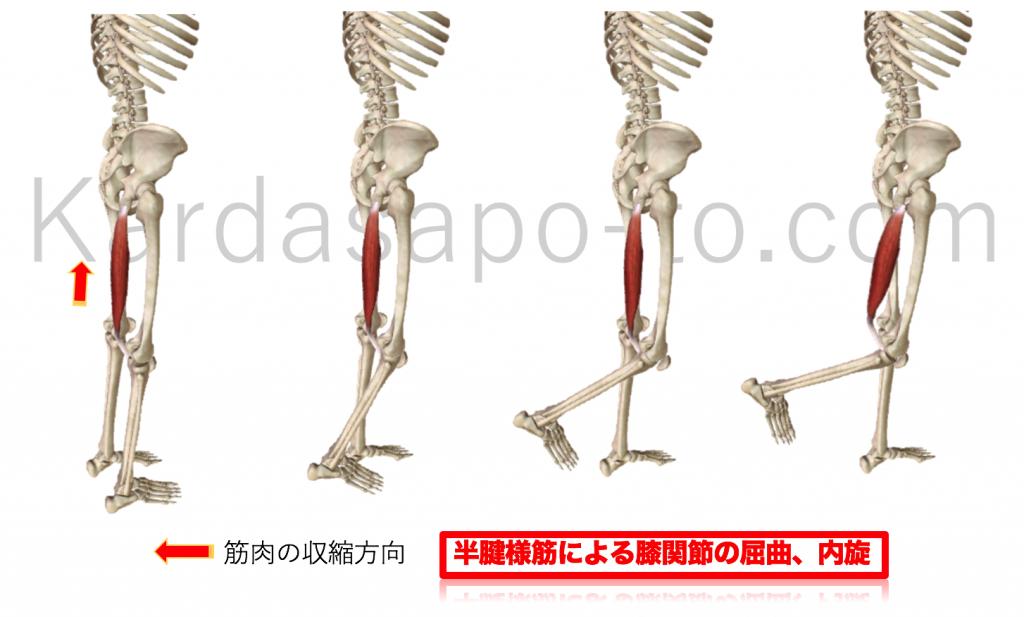 半腱様筋による膝関節屈曲と内旋