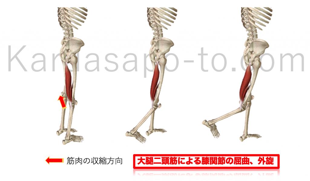 大腿二頭筋による膝関節屈曲と股関節外旋