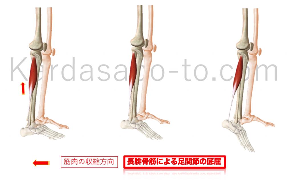 長腓骨筋による足関節底屈