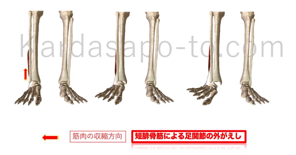 短腓骨筋による足関節の外がえし