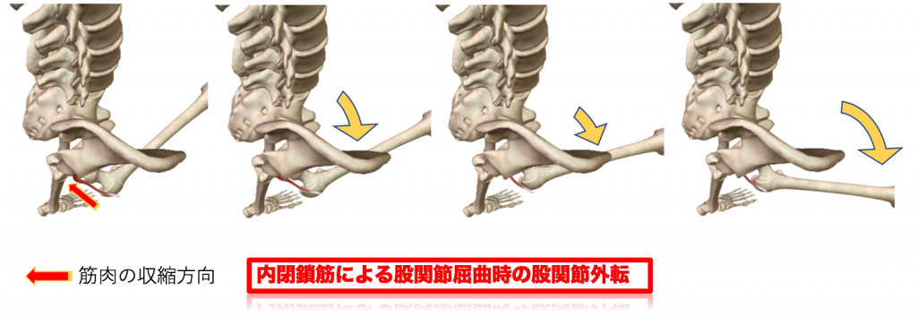 内閉鎖筋による股関節屈曲時の股関節外転
