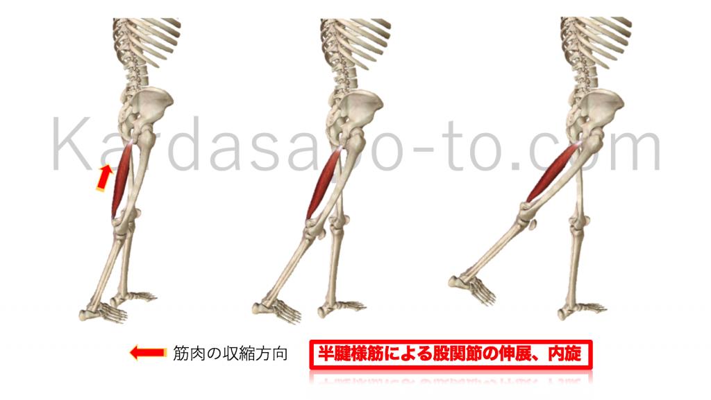 半腱様筋による股関節の伸展と内旋