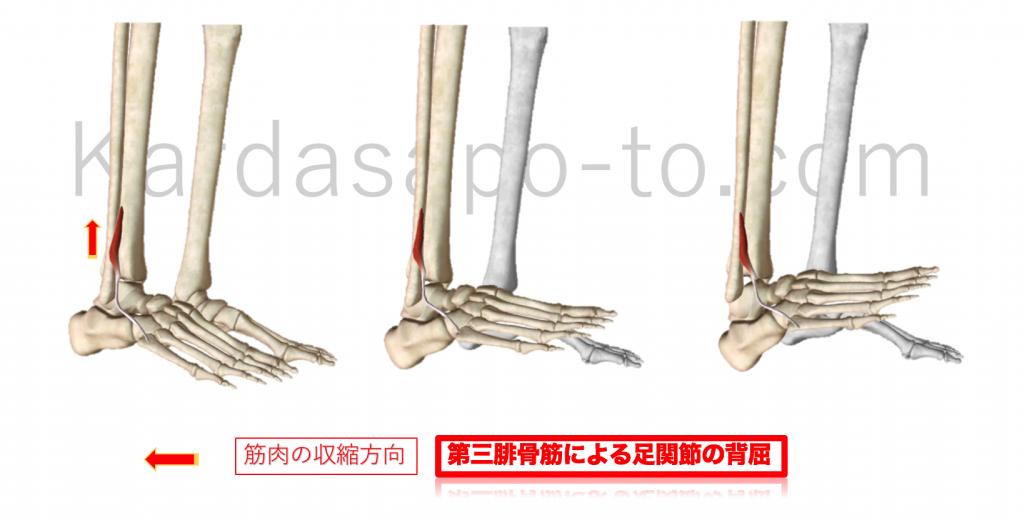 第3腓骨筋による足関節背屈