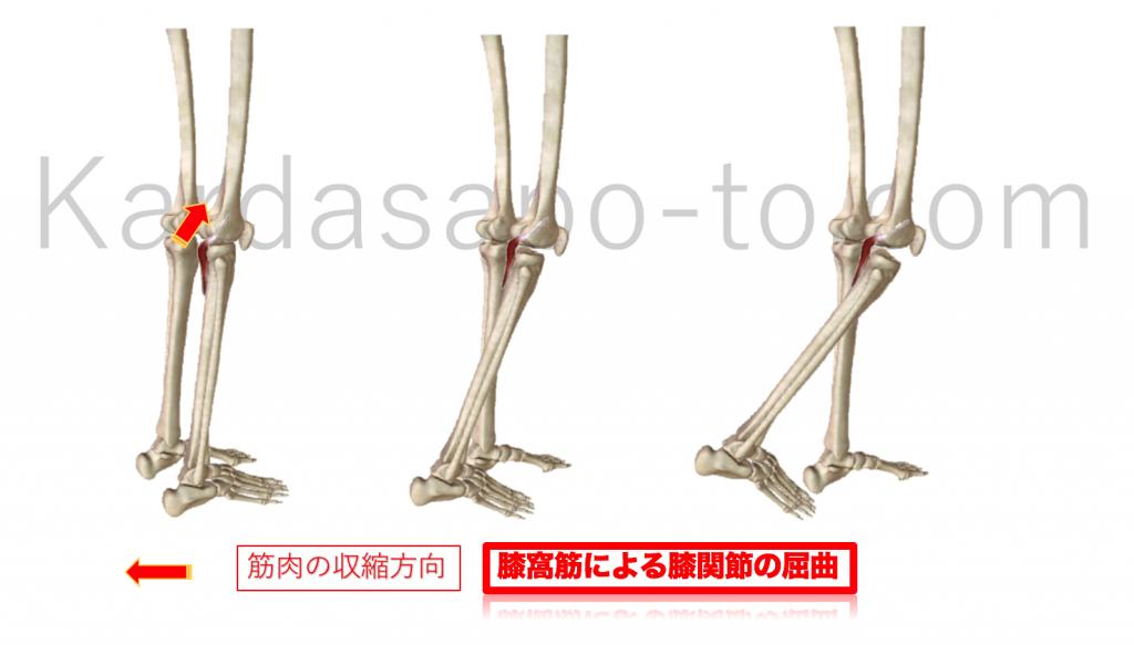膝窩筋による膝関節屈曲
