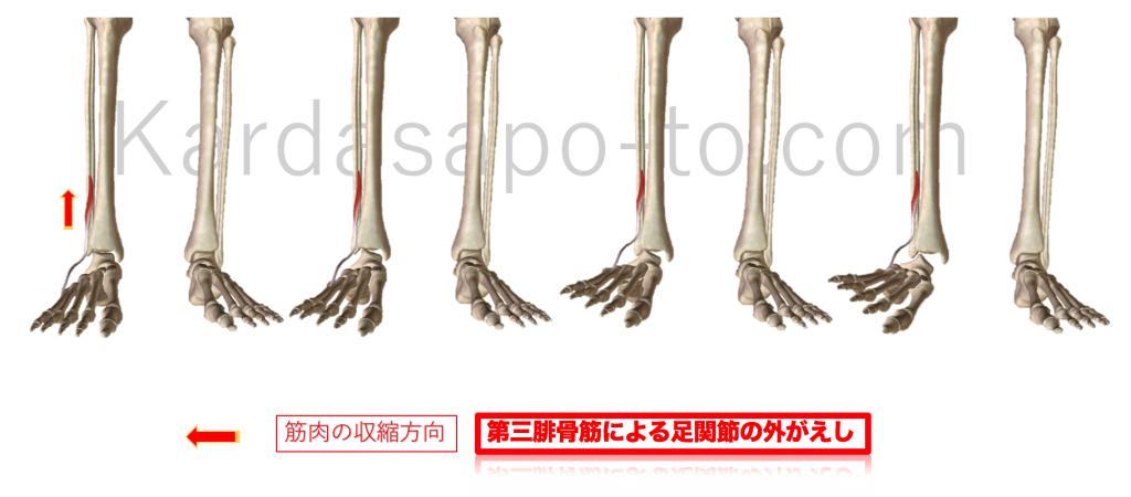 第3腓骨筋による足関節外がえし