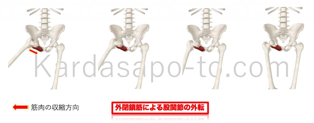 外閉鎖筋による股関節内転