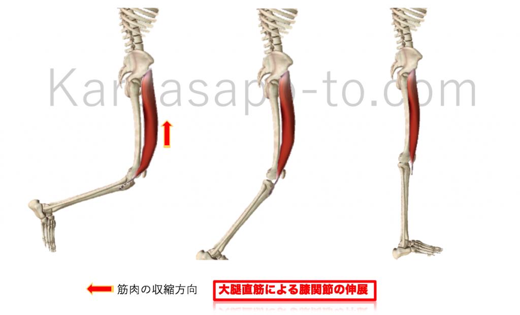 大腿直筋による膝関節伸展