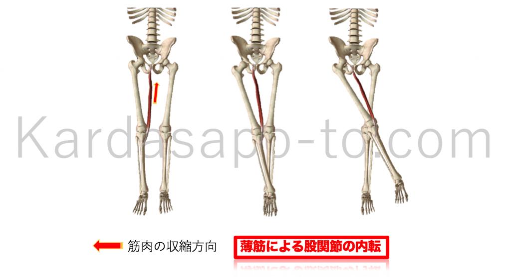 薄筋による股関節内転