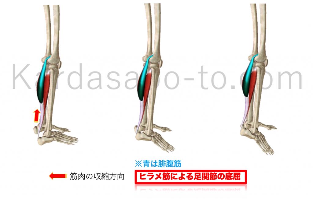 ヒラメ筋による足関節底屈