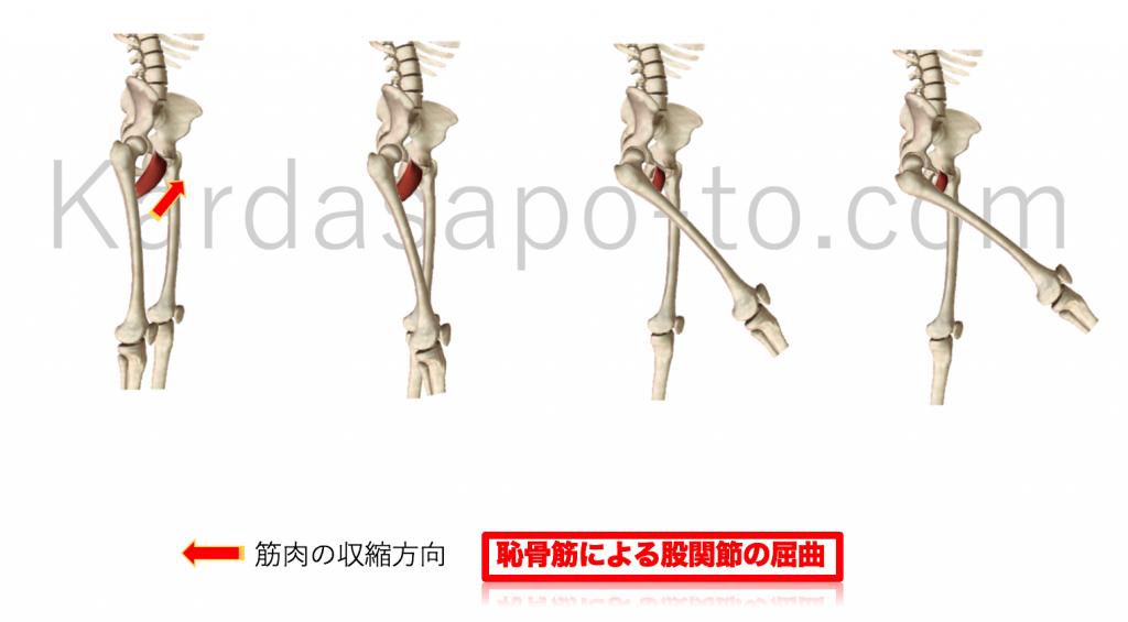 恥骨筋による股関節屈曲