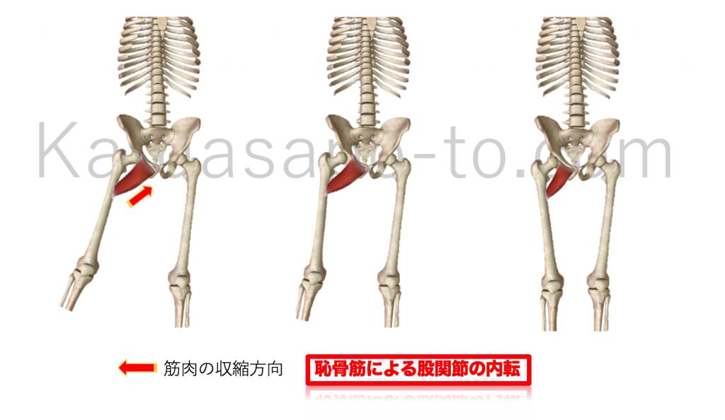 恥骨筋による股関節内転