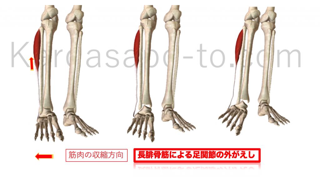 長腓骨筋による足関節の外がえし