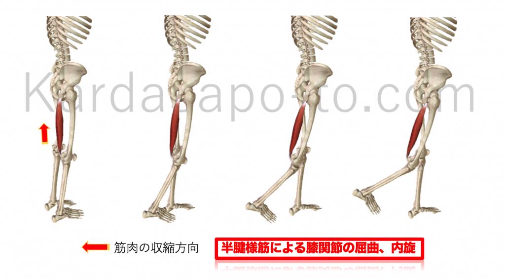 半腱様筋による膝関節の屈曲