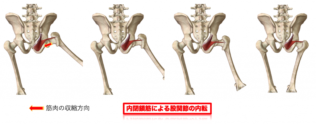 内閉鎖筋による股関節内転