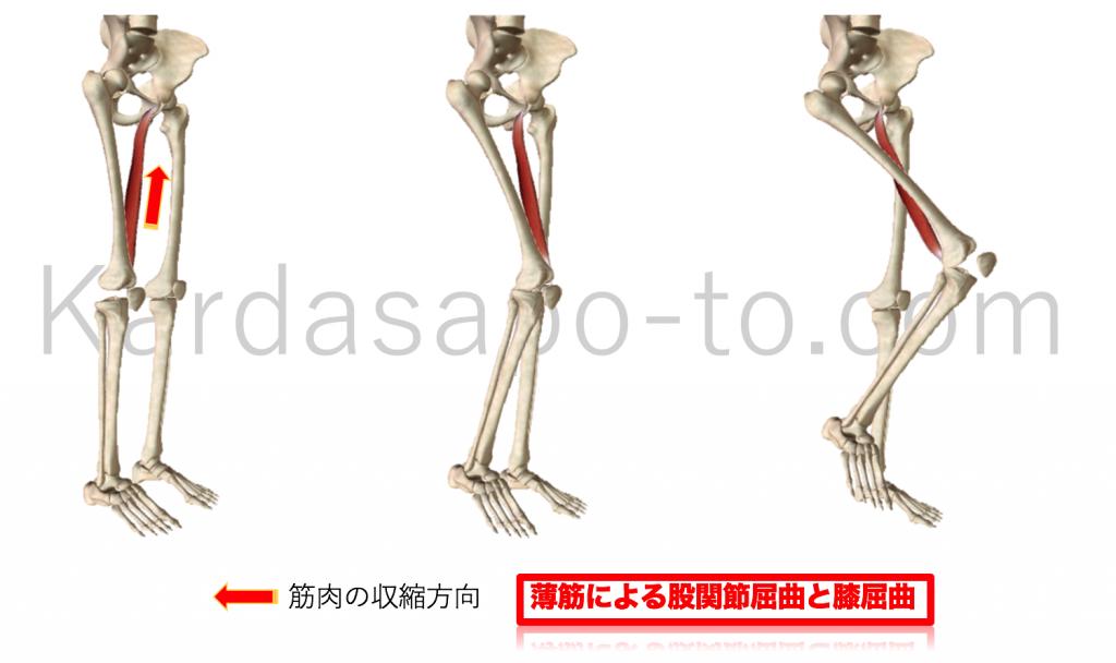 薄筋による股関節屈曲と膝関節屈曲