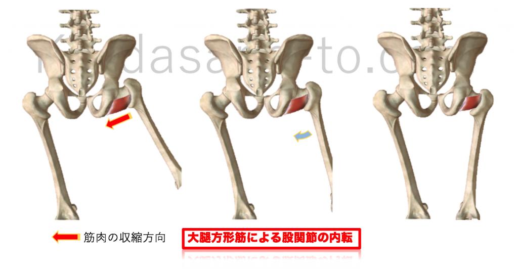 大腿方形筋による股関節内転
