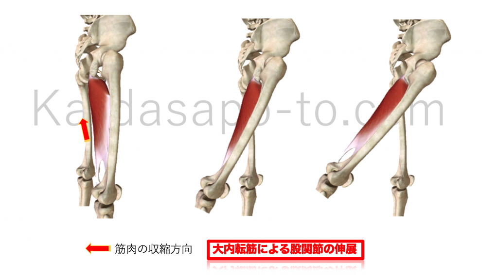 大内転筋による股関節伸展