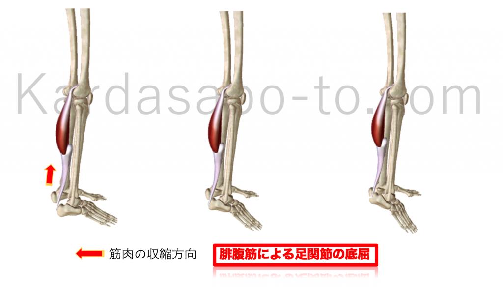 腓腹筋による足関節底屈