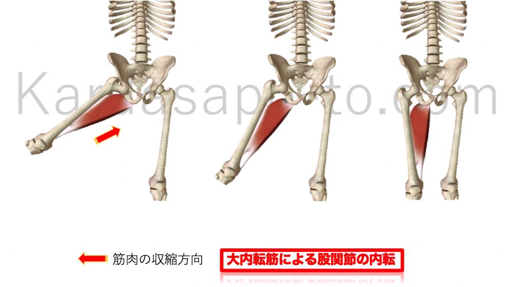 大内転筋による股関節内転