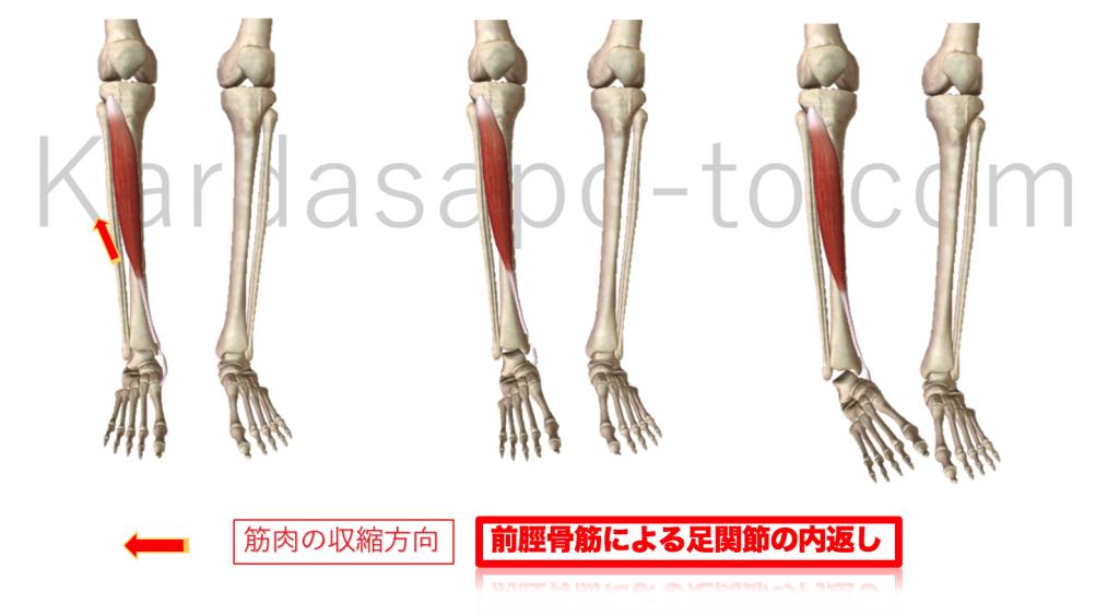 前脛骨筋による足関節の内返し