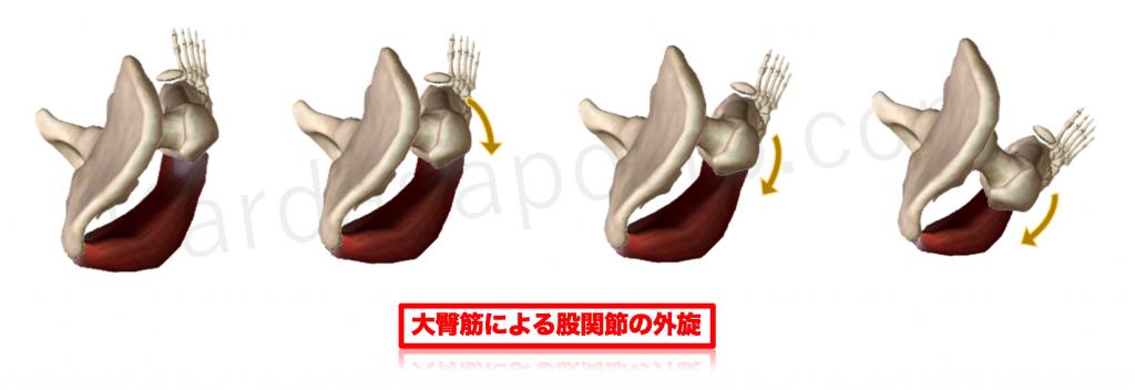 大臀筋による股関節外旋