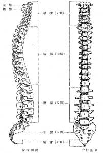 脊椎の全体構造