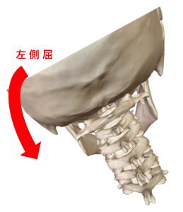 骨解剖による頸部の左側屈