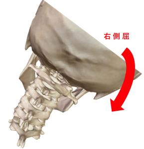 骨解剖による頸部の右側屈
