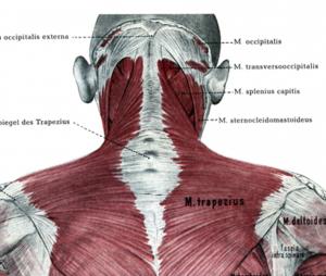 後方から見た頭部と頸部の筋肉連結図