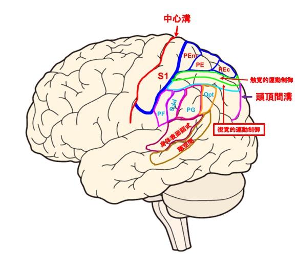 頭頂小葉の分割図
